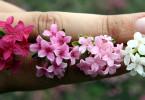 Daphne julia цветовые вариации