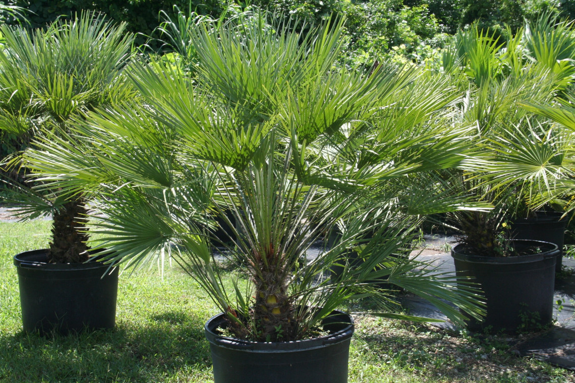 Домашние пальмы - разновидности комнатных пальм, фото с 100