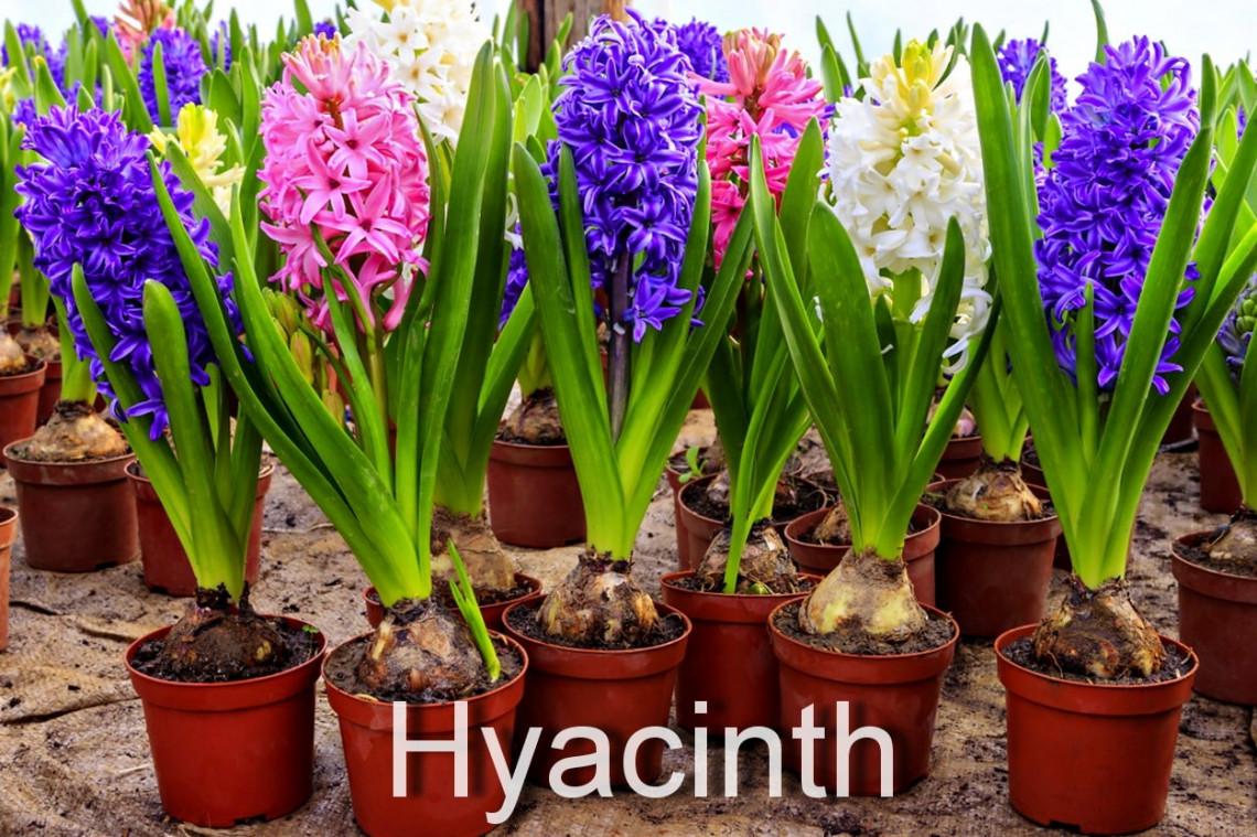 Как правильно сажать луковичные цветы дома в горшок 97