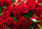 Пересадка роз в открытый грунт