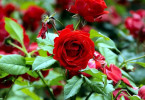 Как выбрать розы для сада?