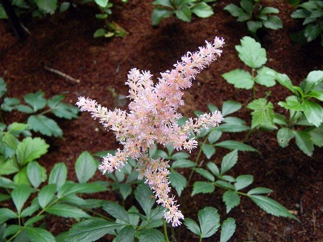 С чем сочетается астильба в саду
