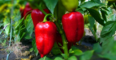 Как получить хороший урожай перца