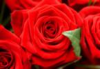 Как и когда пересаживать розы?