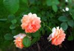 Удобрение роз