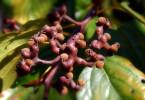 Экзотические растения: где «конфетное дерево» прячет свои сладости?