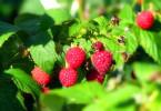 Что нужно знать о высадке малины осенью?