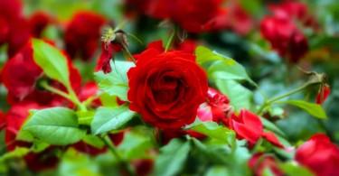 Боремся с врагами садовой розы