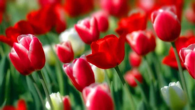 Тюльпан Белиция описание и выращивание многоцветкового сорта