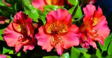 Альстромерия: секреты успешного выращивания