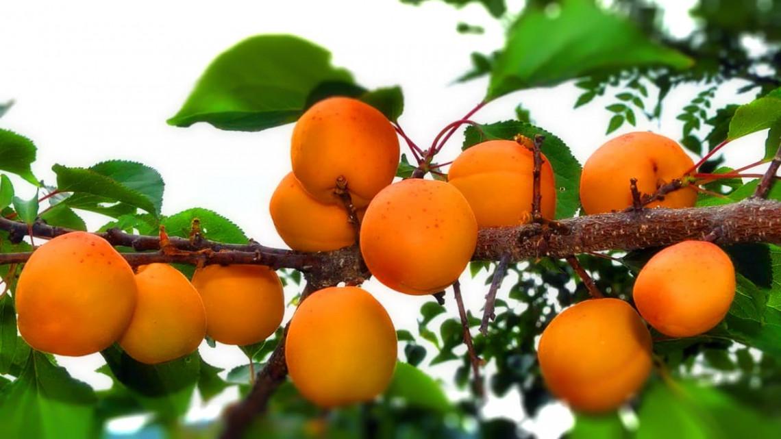 можно ли вырастить абрикос дома