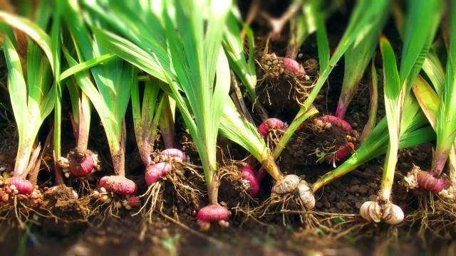 Как хранить луковицы гладиолусов зимой в квартире: как подготовить и где разместить, опыт цветоводов