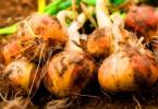Как вырастить крупный лук?
