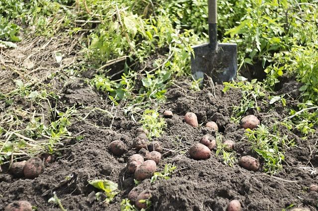 картофель, урожай, огород