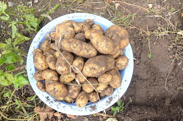 картофель, выкопали, почвы