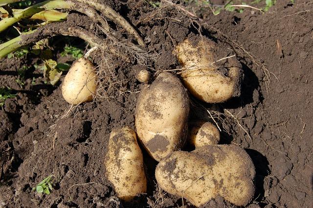 картофель, земля, плод