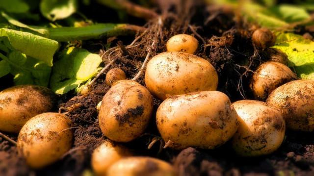 Выкопали картофель?