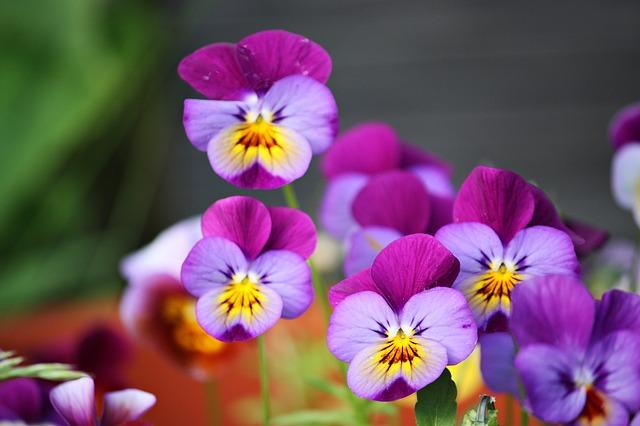 цветы, лето, фиалки