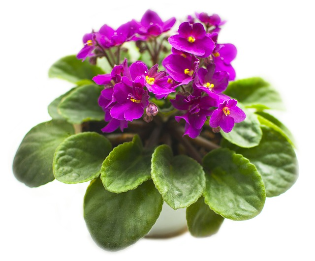 фиалка, цветок, растение