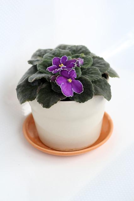 фиалка, в горшке, комнатное растение