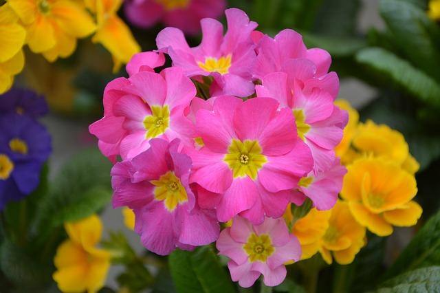 цветок, цветы примулы розы, природа