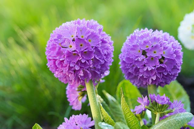 цветок, фиолетовый, цветок примулы