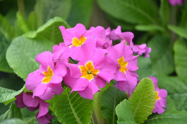 цветок, примулы розы, природа