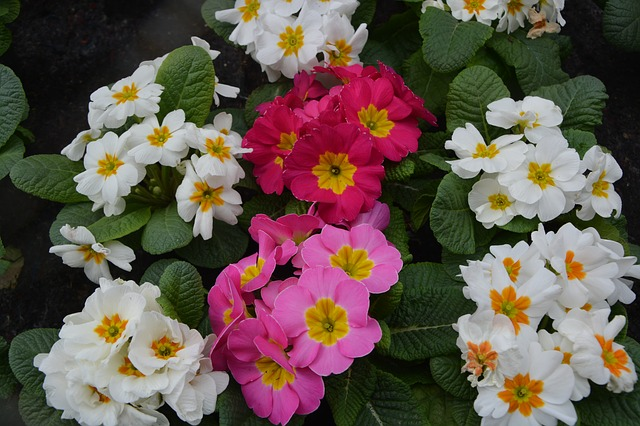 цветок, завод, примулы белая роза красный