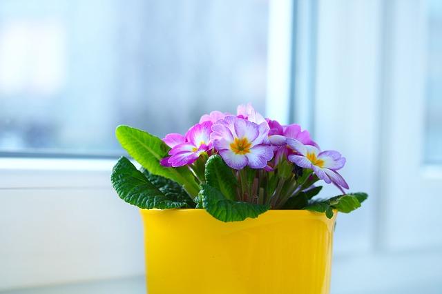 окно, примула, цветочный горшок