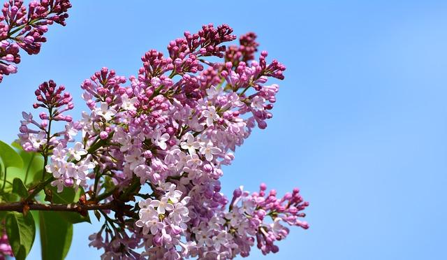сирень, сиреневый цветок, природы