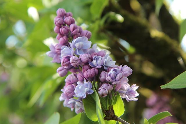 сирень, сирени обыкновенной, сиреневый фиолетовый