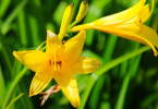 Цветки лилий уменьшаются