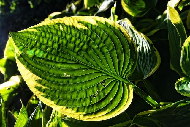 хоста растение, подорожник лилии, завод