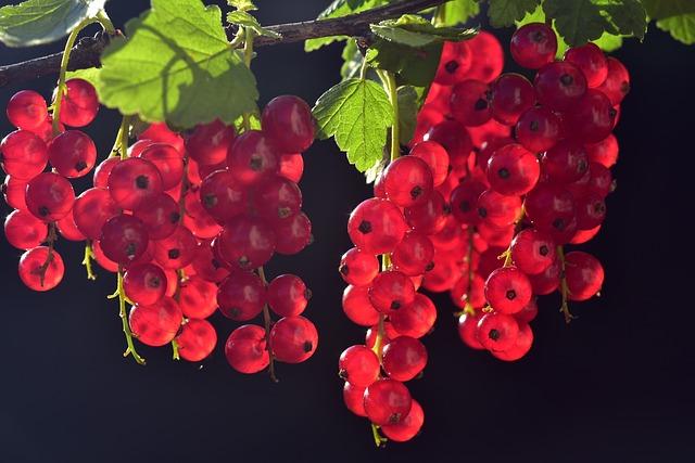 смородины, красный, фруктов