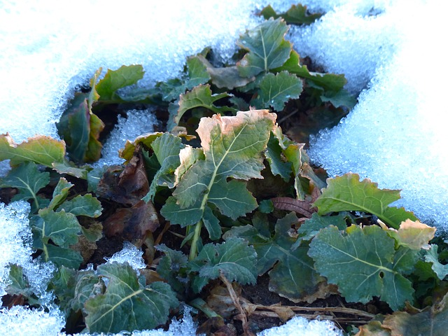 winterkohl, winterfrucht, коля