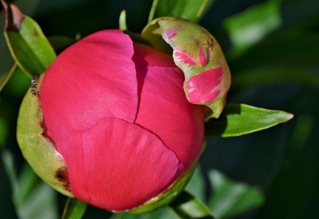 пион, почка, цветок