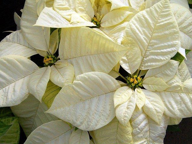 белый пуансеттия, католическое, рождественский цветок