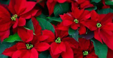 Комнатное растение: пуансеттия