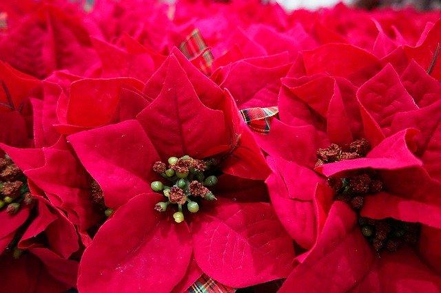 пуансеттия, гармония, цветы
