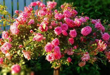 Штамбовые розы. Выбор саженцев и весенняя посадка
