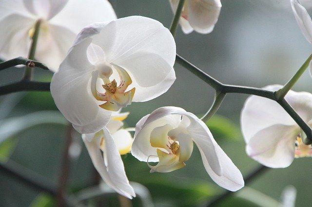 орхидея, цветок, цвести
