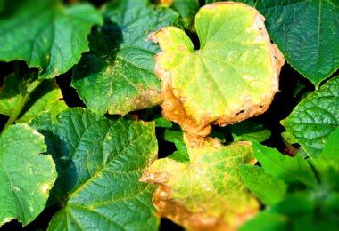 Почему желтеют листья огурцов